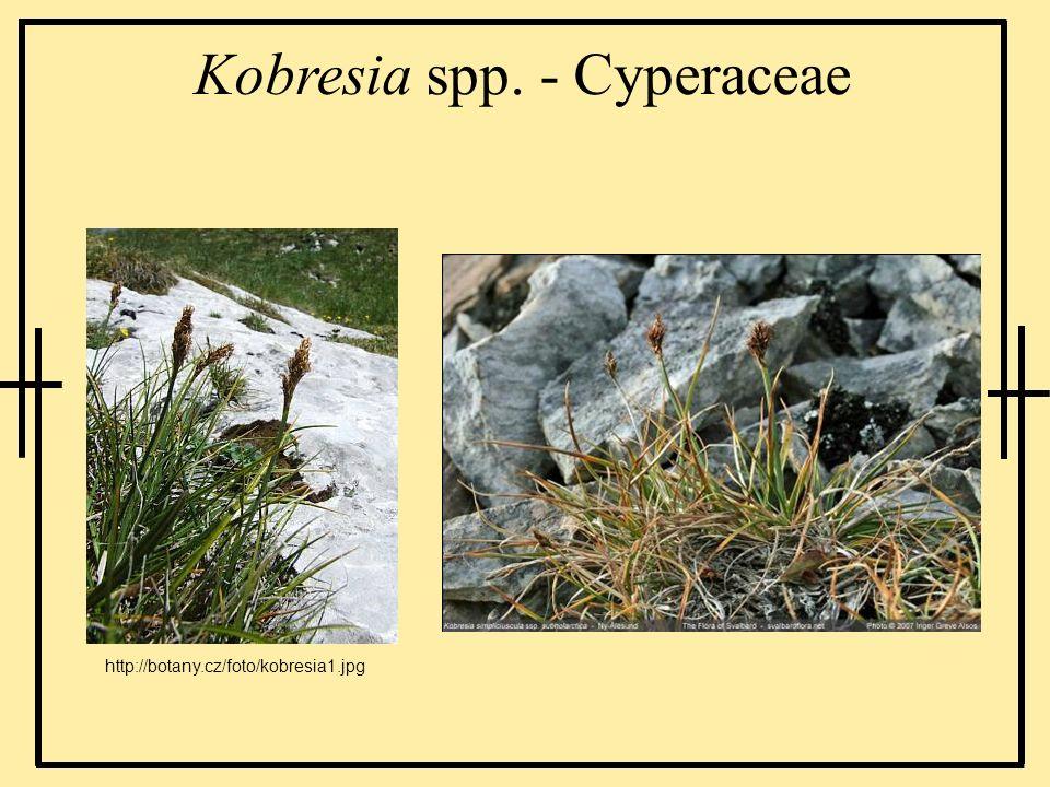 Kobresia spp. - Cyperaceae http://botany.cz/foto/kobresia1.jpg