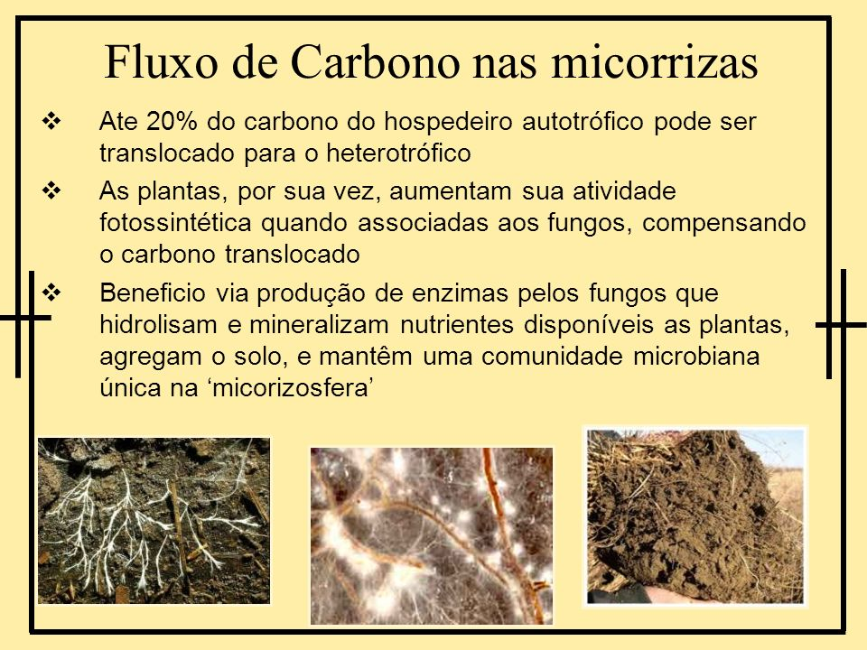 Fluxo de Carbono nas micorrizas Ate 20% do carbono do hospedeiro autotrófico pode ser translocado para o heterotrófico As plantas, por sua vez, aument