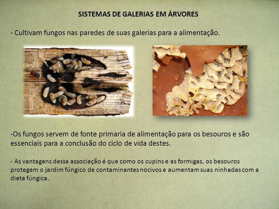SISTEMAS DE GALERIAS EM ÁRVORES - Cultivam fungos nas paredes de suas galerias para a alimentação. -Os fungos servem de fonte primaria de alimentação