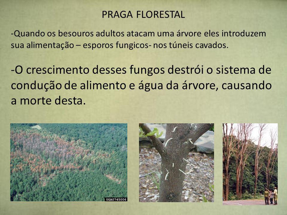 PRAGA FLORESTAL -Quando os besouros adultos atacam uma árvore eles introduzem sua alimentação – esporos fungicos- nos túneis cavados. -O crescimento d
