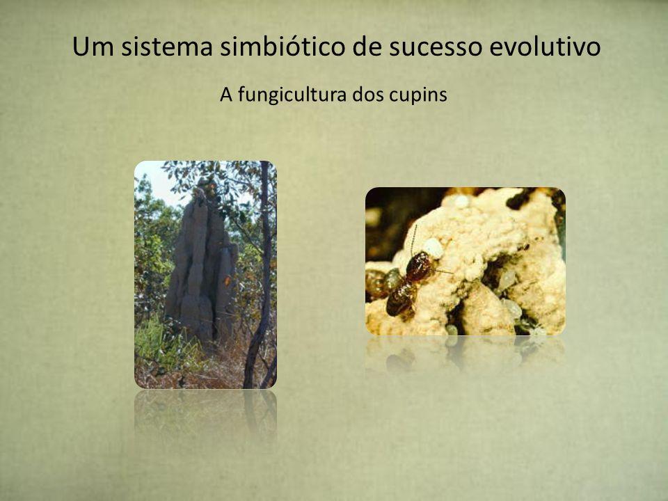 A CHAVE PARA A SOBREVIVÊNCIA Cultivam um fungo chamado Termitomyces - Os ninhos de cupim possuem túneis onde são depositadas suas fezes, estas servirão de substrato para os fungos.