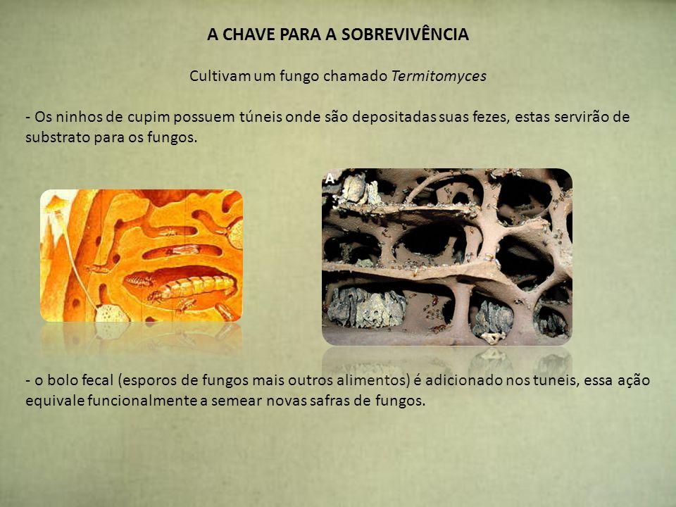 A CHAVE PARA A SOBREVIVÊNCIA Cultivam um fungo chamado Termitomyces - Os ninhos de cupim possuem túneis onde são depositadas suas fezes, estas servirã