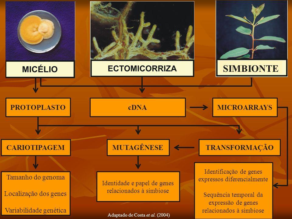 Adaptado de Costa et al. (2004) SIMBIONTE PROTOPLASTOcDNAMICROARRAYS CARIOTIPAGEMMUTAGÊNESETRANSFORMAÇÃO Tamanho do genoma Localização dos genes Varia