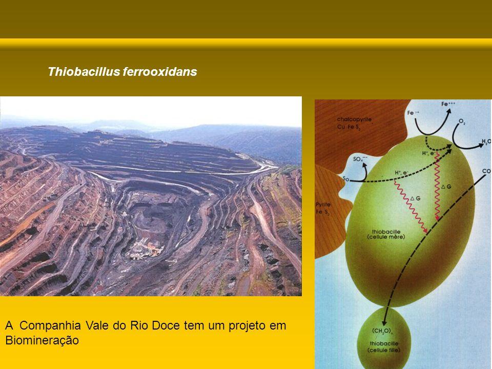 A Companhia Vale do Rio Doce tem um projeto em Biomineração Thiobacillus ferrooxidans