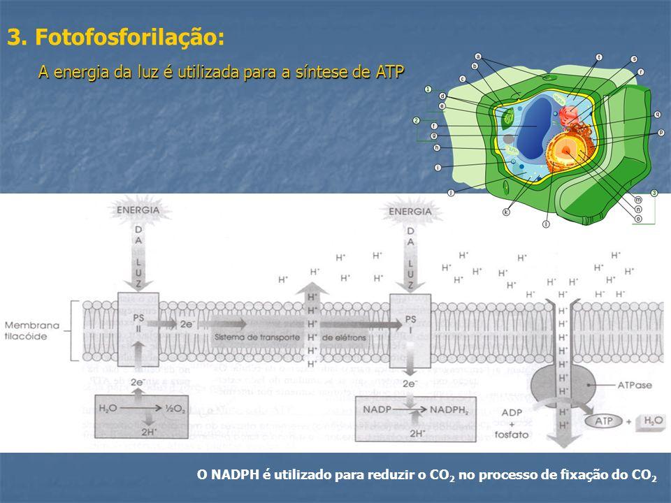 3. Fotofosforilação: O NADPH é utilizado para reduzir o CO 2 no processo de fixação do CO 2 A energia da luz é utilizada para a síntese de ATP