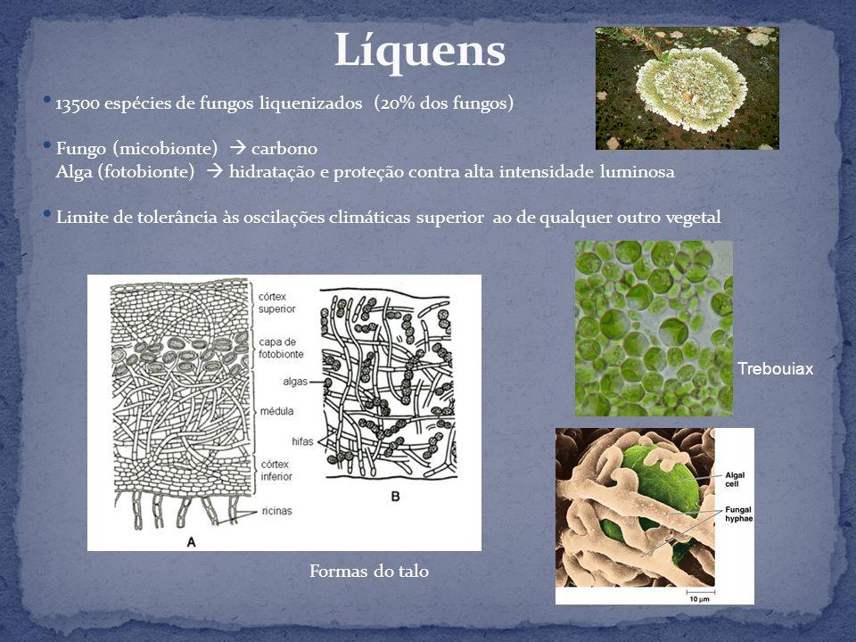13500 espécies de fungos liquenizados (20% dos fungos) Fungo (micobionte) carbono Alga (fotobionte) hidratação e proteção contra alta intensidade lumi