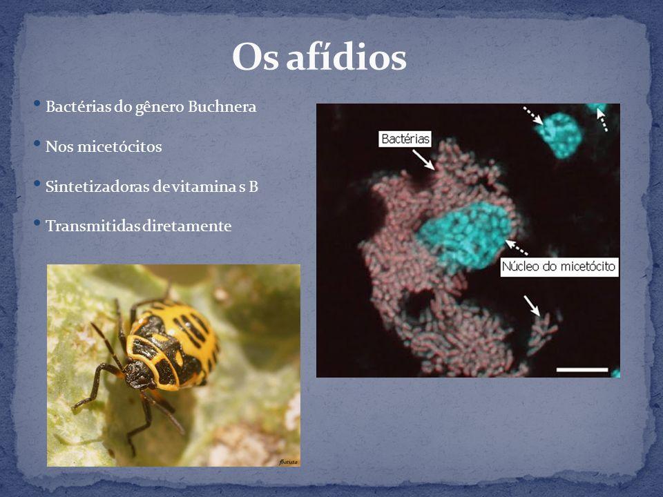 Bactérias do gênero Buchnera Nos micetócitos Sintetizadoras de vitamina s B Transmitidas diretamente