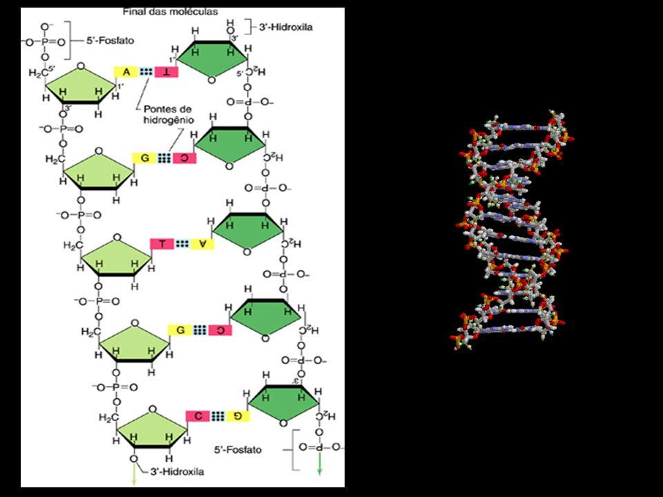 2 a base UCAG 1 a base U UUU (Phe/F) Fenilalanina UUC (Phe/F) Fenilalanina UUA (Leu/L) Leucina UUG (Leu/L) LeucinaFenilalanina Leucina UCU (Ser/S) Serina UCC (Ser/S) Serina UCA (Ser/S) Serina UCG (Ser/S) SerinaSerina UAU (Tyr/Y) Tirosina UAC (Tyr/Y) Tirosina UAA Ocre (Stop) UAG Âmbar (Stop)Tirosina UGU (Cys/C) Cisteína UGC (Cys/C) Cisteína UGA Opala (Stop) UGG (Trp/W) TriptofanoCisteína Triptofano C CUU (Leu/L) Leucina CUC (Leu/L) Leucina CUA (Leu/L) Leucina CUG (Leu/L) LeucinaLeucina CCU (Pro/P) Prolina CCC (Pro/P) Prolina CCA (Pro/P) Prolina CCG (Pro/P) ProlinaProlina CAU (His/H) Histidina CAC (His/H) Histidina CAA (Gln/Q) Glutamina CAG (Gln/Q) GlutaminaHistidina Glutamina CGU (Arg/R) Arginina CGC (Arg/R) Arginina CGA (Arg/R) Arginina CGG (Arg/R) ArgininaArginina A AUU (Ile/I) Isoleucina AUC (Ile/I) Isoleucina AUA (Ile/I) Isoleucina AUG (Met/M) Metionina, StartIsoleucina Metionina ACU (Thr/T)Treonina ACC (Thr/T)Treonina ACA (Thr/T)Treonina ACG (Thr/T)TreoninaTreonina AAU (Asn/N) Asparagina AAC (Asn/N) Asparagina AAA (Lys/K) Lisina AAG (Lys/K) LisinaAsparagina Lisina AGU (Ser/S) Serina AGC (Ser/S) Serina AGA (Arg/R) Arginina AGG (Arg/R) ArgininaSerina Arginina G GUU (Val/V) Valina GUC (Val/V) Valina GUA (Val/V) Valina GUG (Val/V) ValinaValina GCU (Ala/A) Alanina GCC (Ala/A) Alanina GCA (Ala/A) Alanina GCG (Ala/A) AlaninaAlanina GAU (Asp/D) Ácido aspártico GAC (Asp/D) Ácido aspártico GAA (Glu/E) Ácido glutâmico GAG (Glu/E) Ácido glutâmicoÁcido aspártico Ácido glutâmico GGU (Gly/G) Glicina GGC (Gly/G) Glicina GGA (Gly/G) Glicina GGG (Gly/G) GlicinaGlicina
