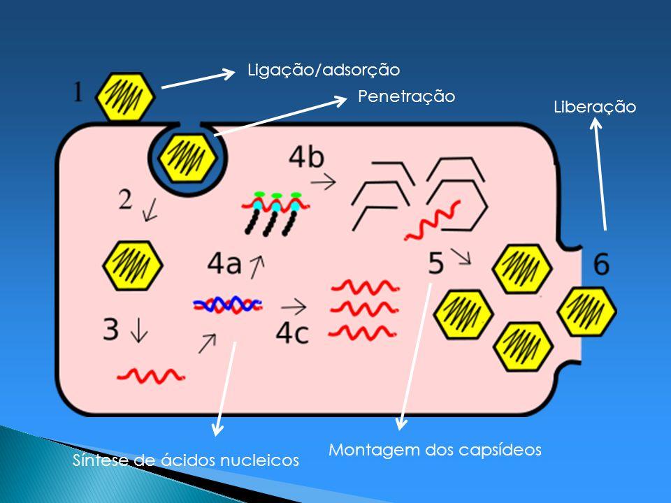 Ligação/adsorção Penetração Síntese de ácidos nucleicos Montagem dos capsídeos Liberação