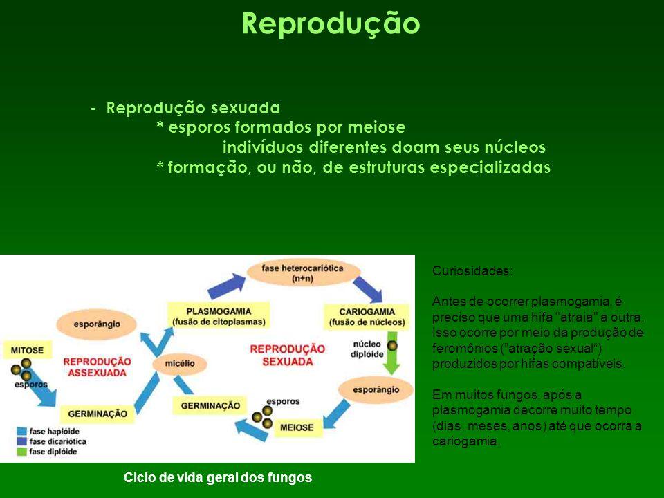 Reprodução - Reprodução sexuada * esporos formados por meiose indivíduos diferentes doam seus núcleos * formação, ou não, de estruturas especializadas