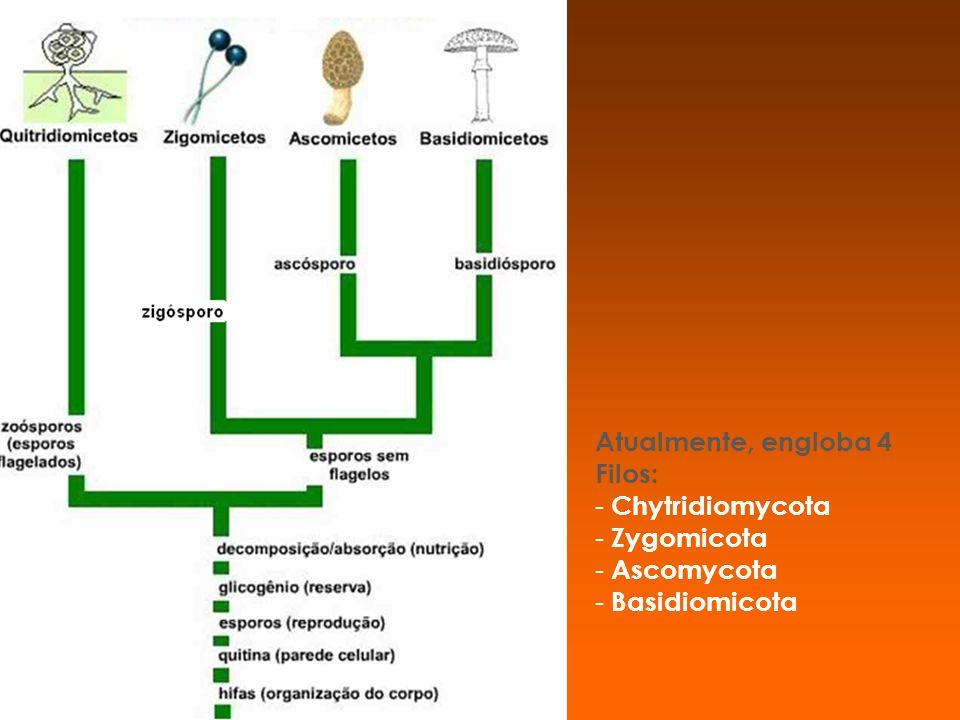 Atualmente, engloba 4 Filos: - - Chytridiomycota - - Zygomicota - - Ascomycota - - Basidiomicota