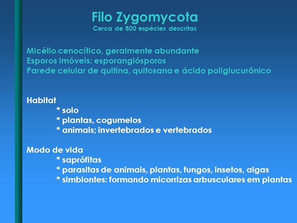 Filo Zygomycota Cerca de 800 espécies descritas Micélio cenocítico, geralmente abundante Esporos imóveis: esporangiósporos Parede celular de quitina,