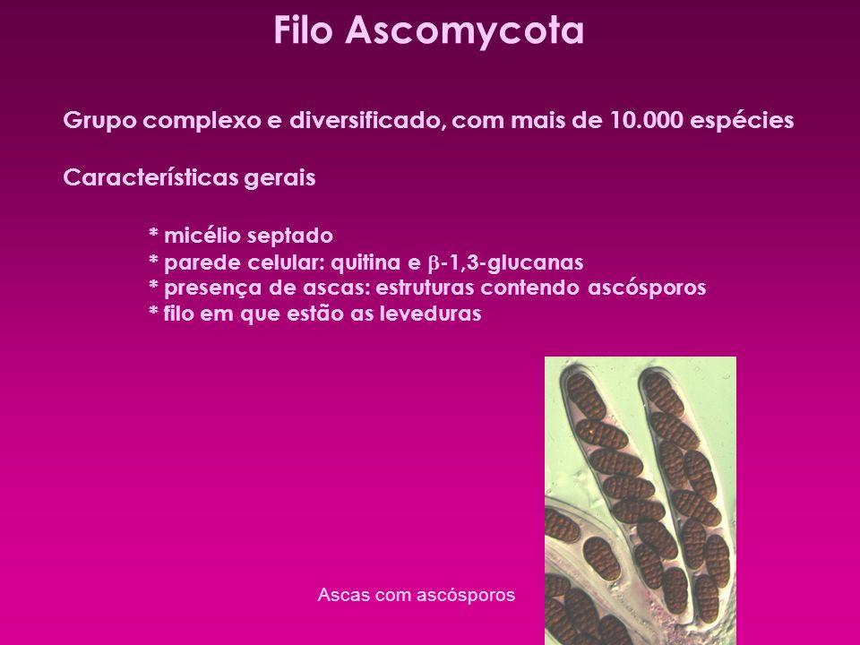 Filo Ascomycota Grupo complexo e diversificado, com mais de 10.000 espécies Características gerais * micélio septado * parede celular: quitina e -1,3-