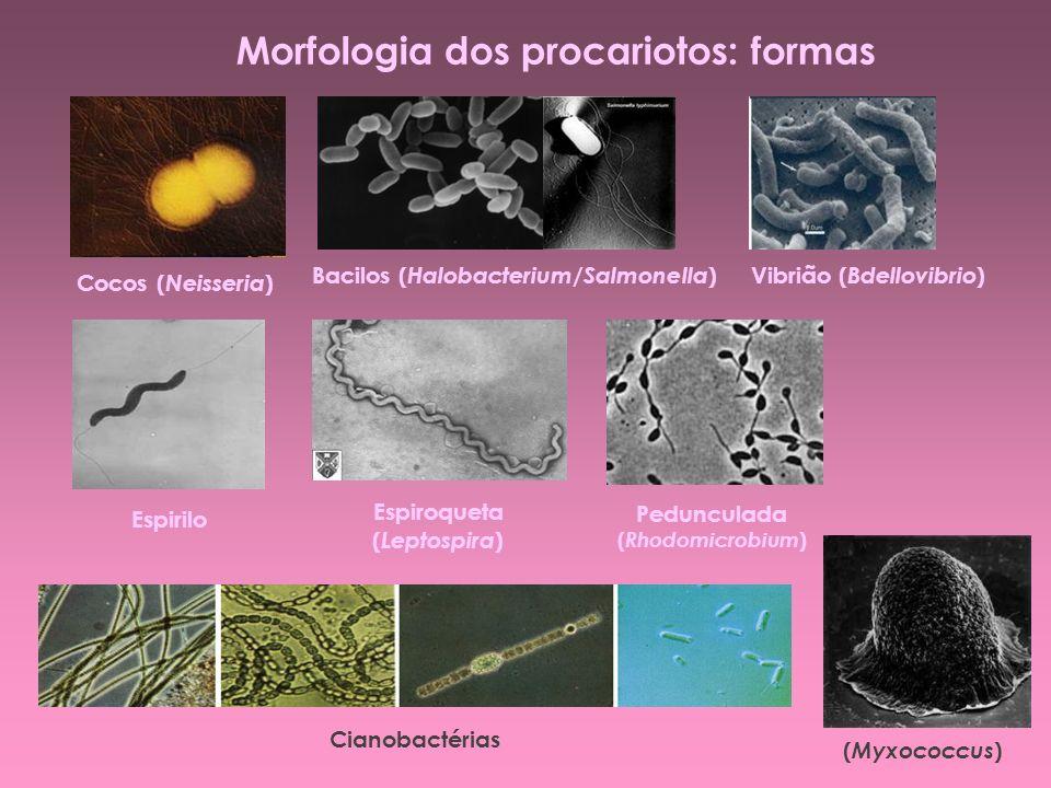 Morfologia dos procariotos: formas Cocos ( Neisseria ) Bacilos ( Halobacterium / Salmonella ) Vibrião ( Bdellovibrio ) Espirilo Espiroqueta ( Leptospi