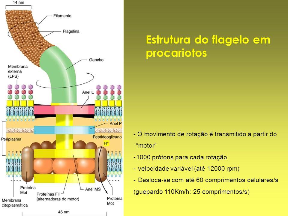 Estrutura do flagelo em procariotos - O movimento de rotação é transmitido a partir do motor -1000 prótons para cada rotação - velocidade variável (at