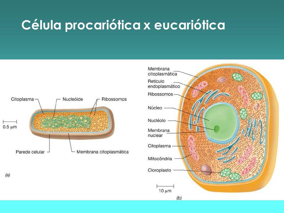 Estrutura da célula procariótica Flagelos * apêndices longos e finos * helicoidais * 20 nm de diâmetro * distribuídos em número variável * proteína: flagelina * estrutura: - corpo basal (motor) - gancho - filamento