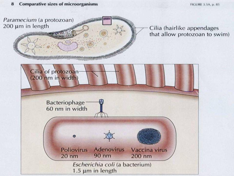 Domínio Archaea * paredes de composição variável * sem peptideoglicano * algumas são Gram +, outras Gram - a) Metanogênicas * pseudopeptidoglicano * polissacarídeos b) Halofílicas * Halococcus : polissacarídeo sulfatado * Halobacterium : glicoproteínas com cargas negativas c) Outras metanogênicas Methanococcus e Methanospirillum : proteínas d) Hipertermofílicas: * Sulfolobus : glicoproteínas (paredes estáveis em detergente em ebulição!!) * Pyrodictium : glicoproteínas (113ºC) Estrutura da célula procariótica