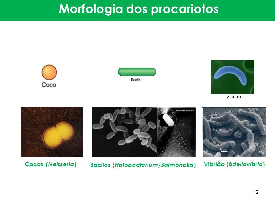 Cocos ( Neisseria ) Bacilos ( Halobacterium / Salmonella ) Vibrião ( Bdellovibrio ) Morfologia dos procariotos Vibrião 12