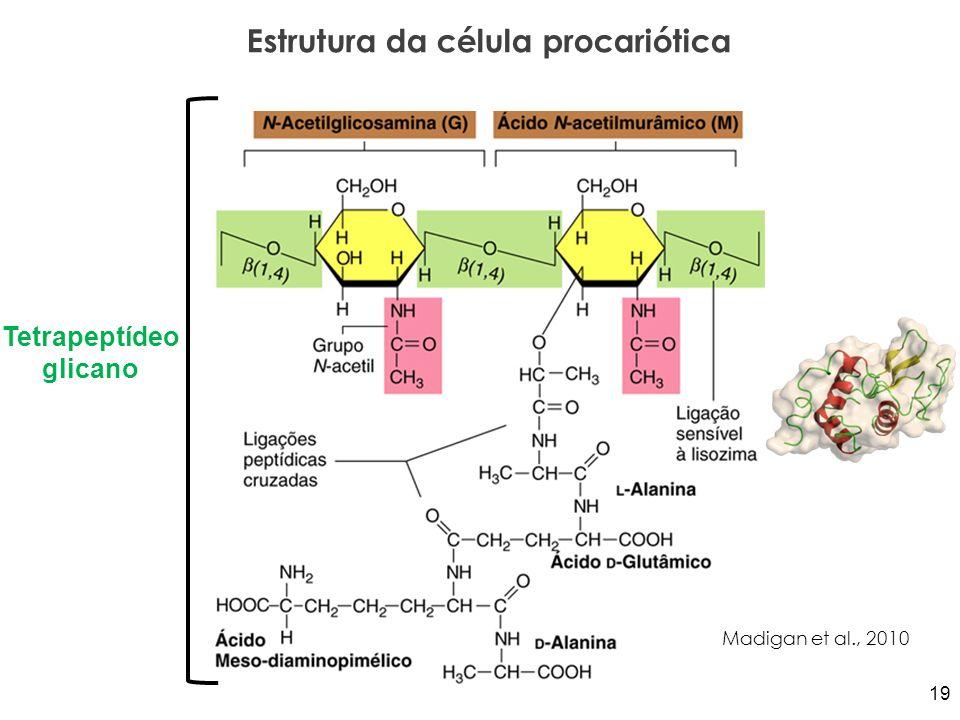 Estrutura da célula procariótica Madigan et al., 2010 Tetrapeptídeo glicano 19