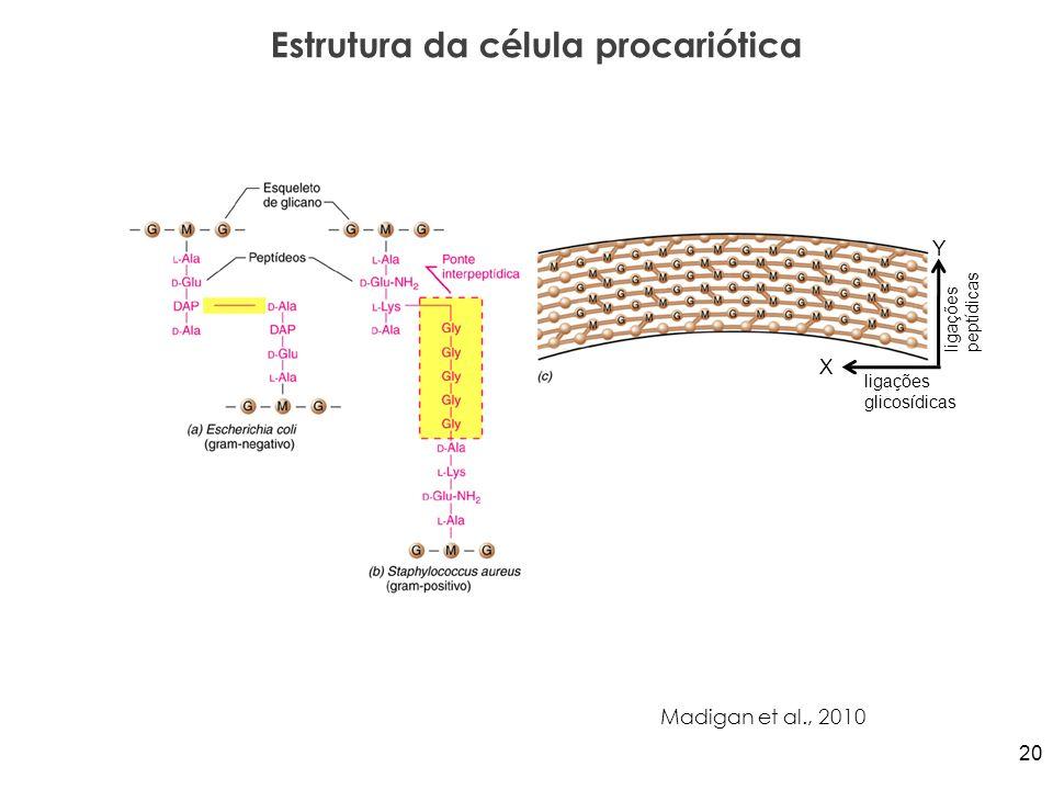 Estrutura da célula procariótica Madigan et al., 2010 Y X ligações peptídicas ligações glicosídicas 20