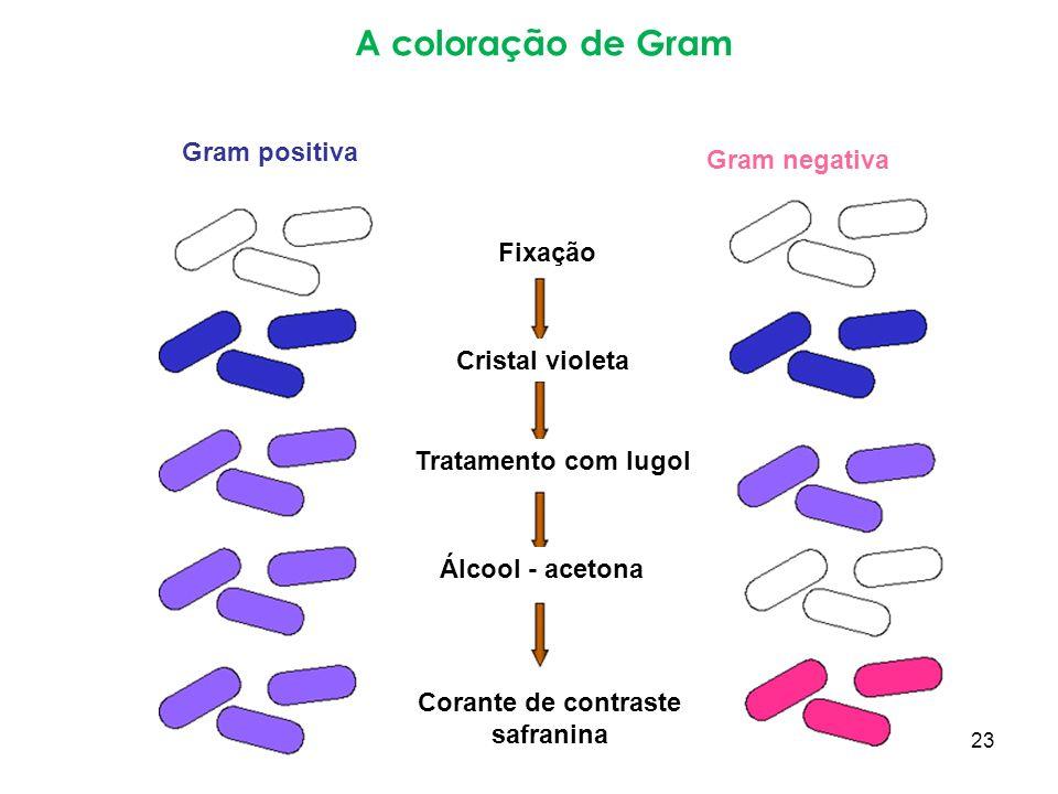 A coloração de Gram Gram negativa Gram positiva Fixação Cristal violeta Tratamento com lugol Álcool - acetona Corante de contraste safranina 23