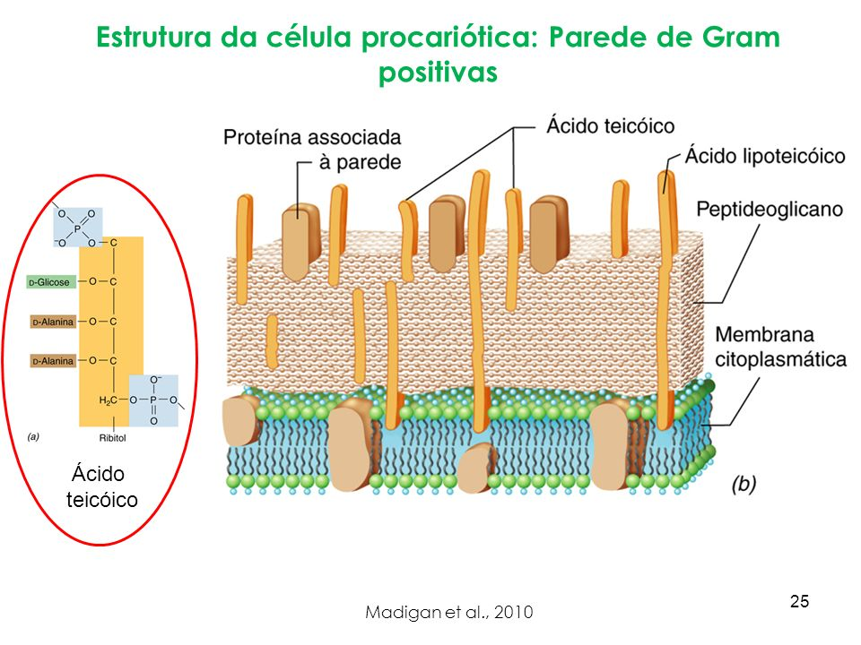 Estrutura da célula procariótica: Parede de Gram positivas Madigan et al., 2010 Ácido teicóico 25