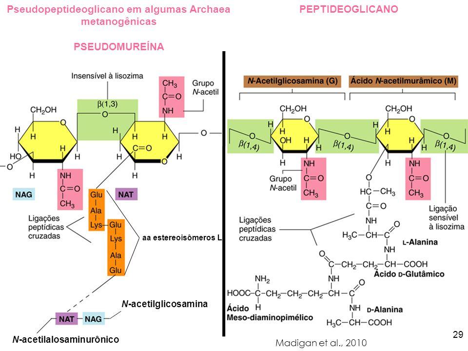 Pseudopeptideoglicano em algumas Archaea metanogênicas PSEUDOMUREÍNA Madigan et al., 2010 PEPTIDEOGLICANO N-acetilglicosamina N-acetilalosaminurônico