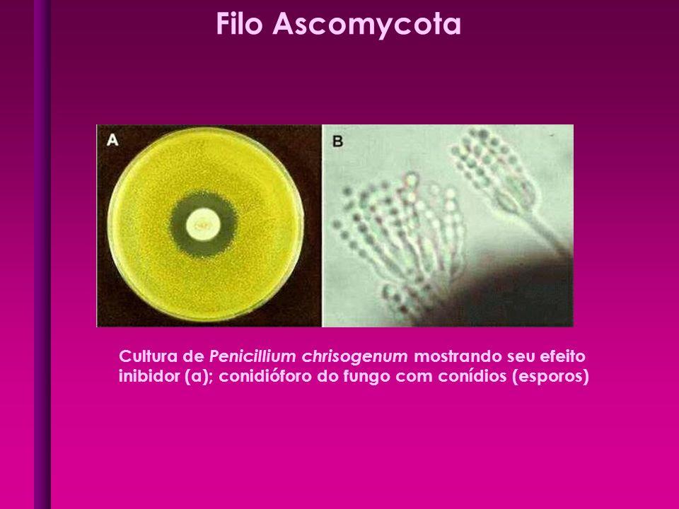 Filo Ascomycota Cultura de Penicillium chrisogenum mostrando seu efeito inibidor (a); conidióforo do fungo com conídios (esporos)