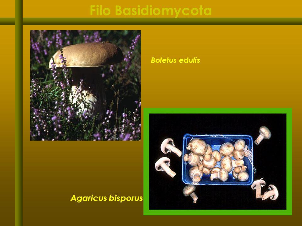Filo Basidiomycota Boletus edulis Agaricus bisporus