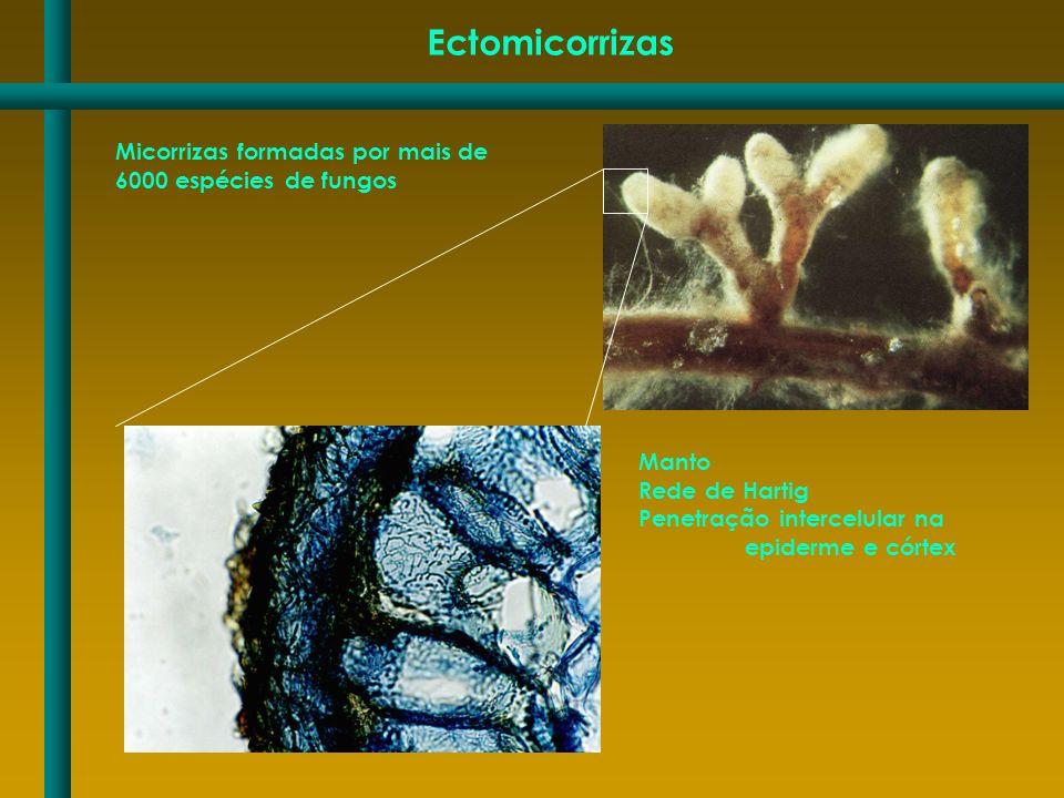Ectomicorrizas Micorrizas formadas por mais de 6000 espécies de fungos Manto Rede de Hartig Penetração intercelular na epiderme e córtex