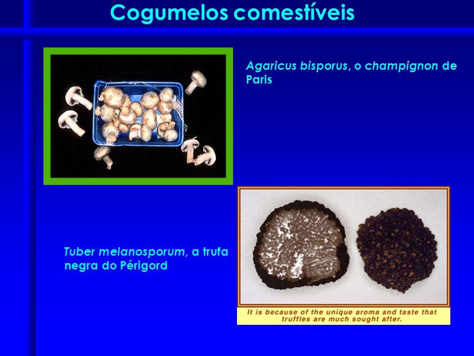 Agaricus bisporus, o champignon de Paris Tuber melanosporum, a trufa negra do Périgord Cogumelos comestíveis
