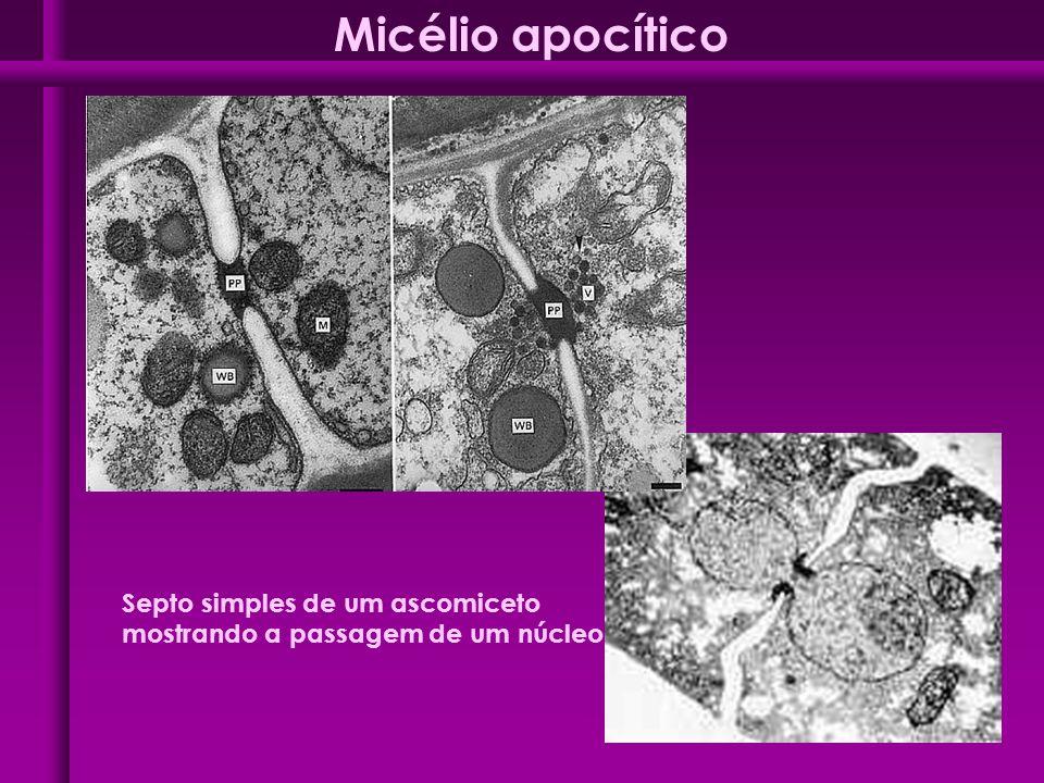 Septo simples de um ascomiceto mostrando a passagem de um núcleo Micélio apocítico
