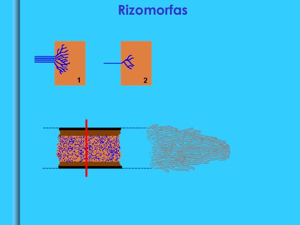 Rizomorfas