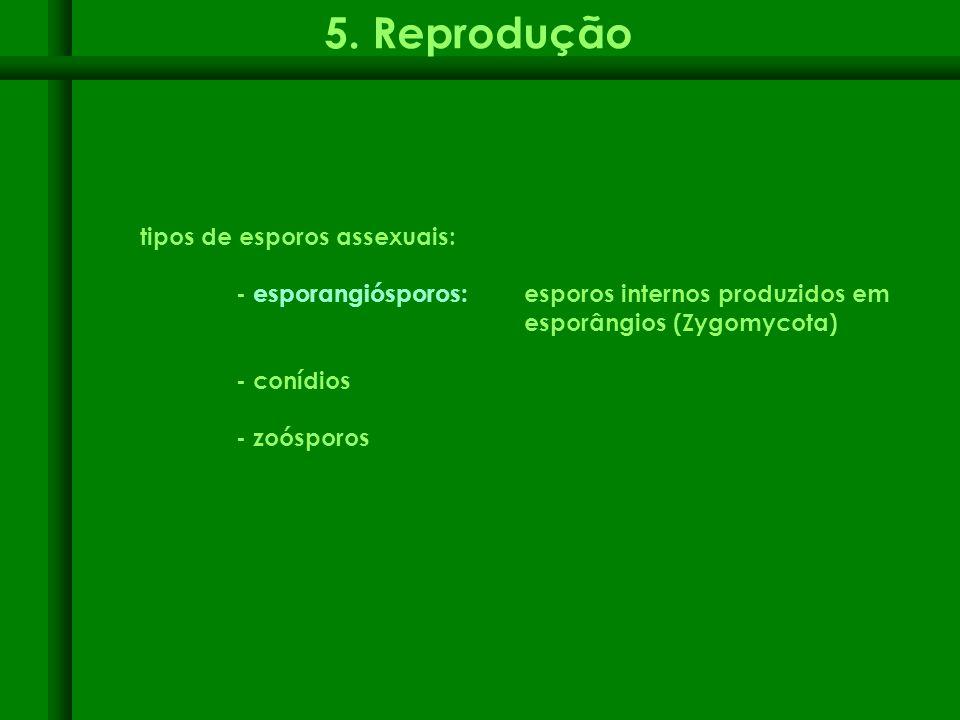tipos de esporos assexuais: - esporangiósporos: esporos internos produzidos em esporângios (Zygomycota) - conídios - zoósporos