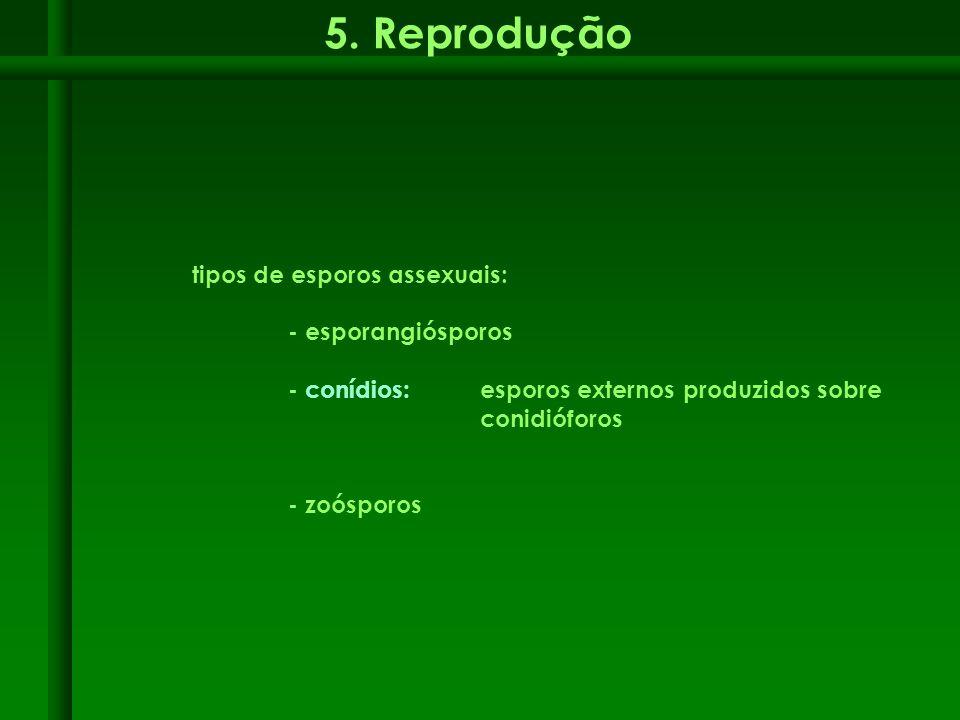 5. Reprodução tipos de esporos assexuais: - esporangiósporos - conídios: esporos externos produzidos sobre conidióforos - zoósporos