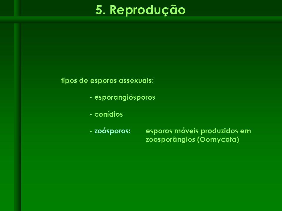 5. Reprodução tipos de esporos assexuais: - esporangiósporos - conídios - zoósporos: esporos móveis produzidos em zoosporângios (Oomycota)