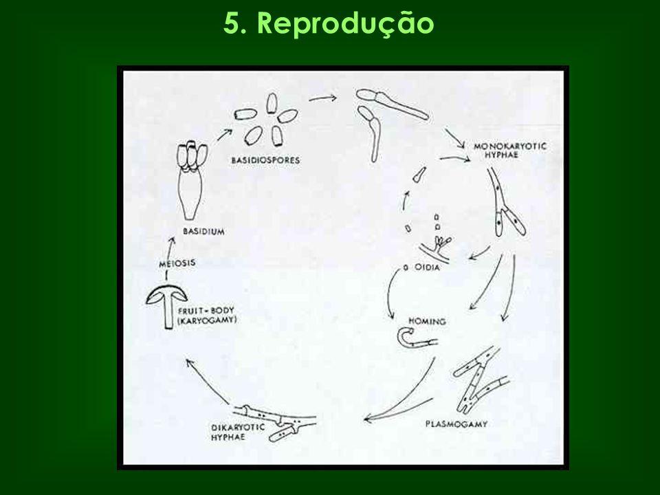 5. Reprodução