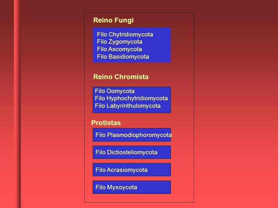 Filo Plasmodiophoromycota Filo Dictiosteliomycota Filo Acrasiomycota Filo Myxoycota Reino Fungi Reino Chromista Protistas Filo Chytridiomycota Filo Zy