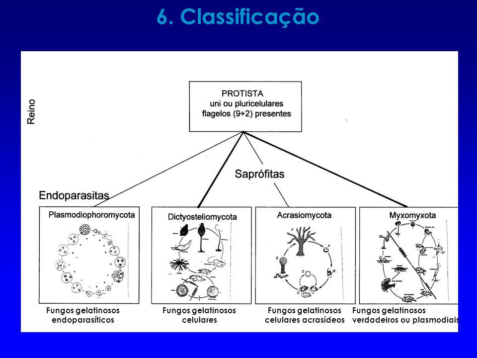 6. Classificação Fungos gelatinosos endoparasíticos Fungos gelatinosos celulares Fungos gelatinosos celulares acrasídeos Fungos gelatinosos verdadeiro