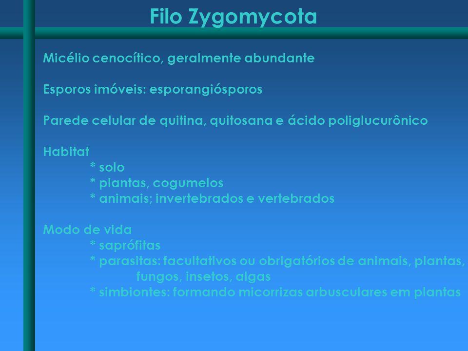 Filo Zygomycota Micélio cenocítico, geralmente abundante Esporos imóveis: esporangiósporos Parede celular de quitina, quitosana e ácido poliglucurônic