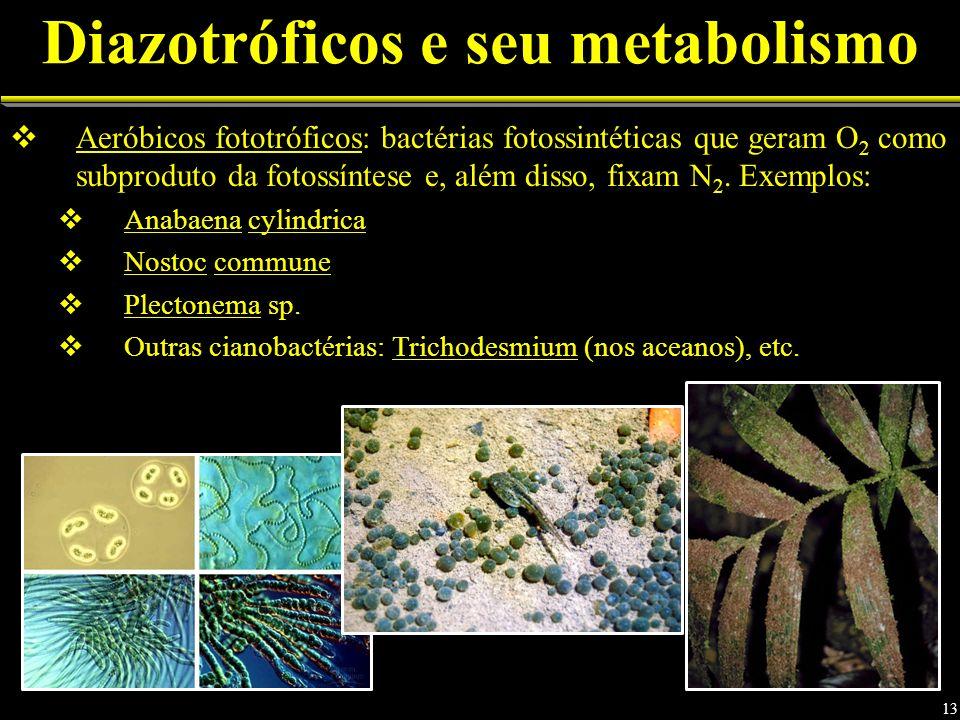 Aeróbicos fototróficos: bactérias fotossintéticas que geram O 2 como subproduto da fotossíntese e, além disso, fixam N 2. Exemplos: Anabaena cylindric