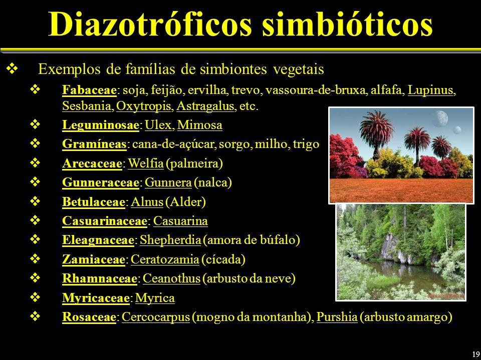 Diazotróficos simbióticos Exemplos de famílias de simbiontes vegetais Fabaceae: soja, feijão, ervilha, trevo, vassoura-de-bruxa, alfafa, Lupinus, Sesbania, Oxytropis, Astragalus, etc.