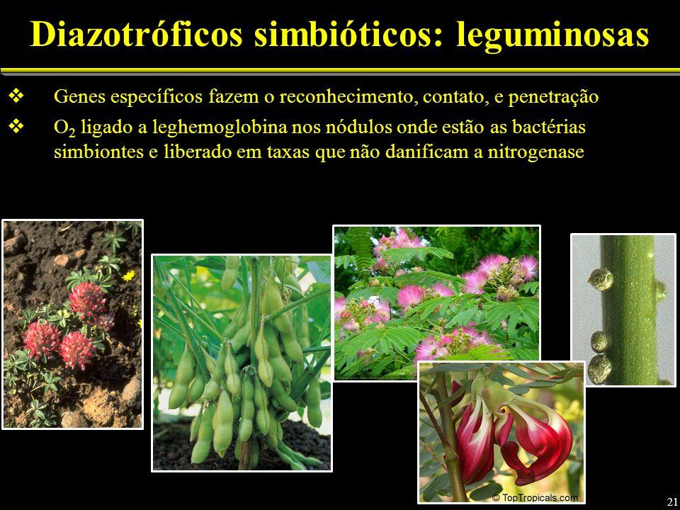 Genes específicos fazem o reconhecimento, contato, e penetração O 2 ligado a leghemoglobina nos nódulos onde estão as bactérias simbiontes e liberado em taxas que não danificam a nitrogenase Diazotróficos simbióticos: leguminosas 21