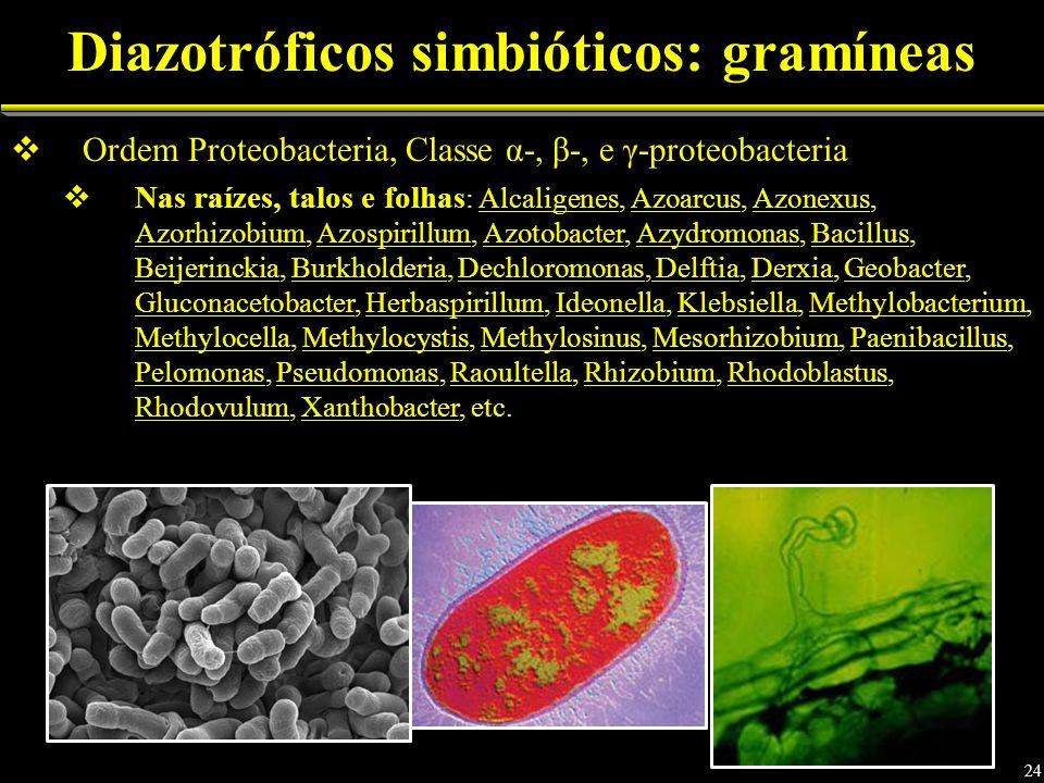 Ordem Proteobacteria, Classe α-, β-, e γ-proteobacteria Nas raízes, talos e folhas : Alcaligenes, Azoarcus, Azonexus, Azorhizobium, Azospirillum, Azot