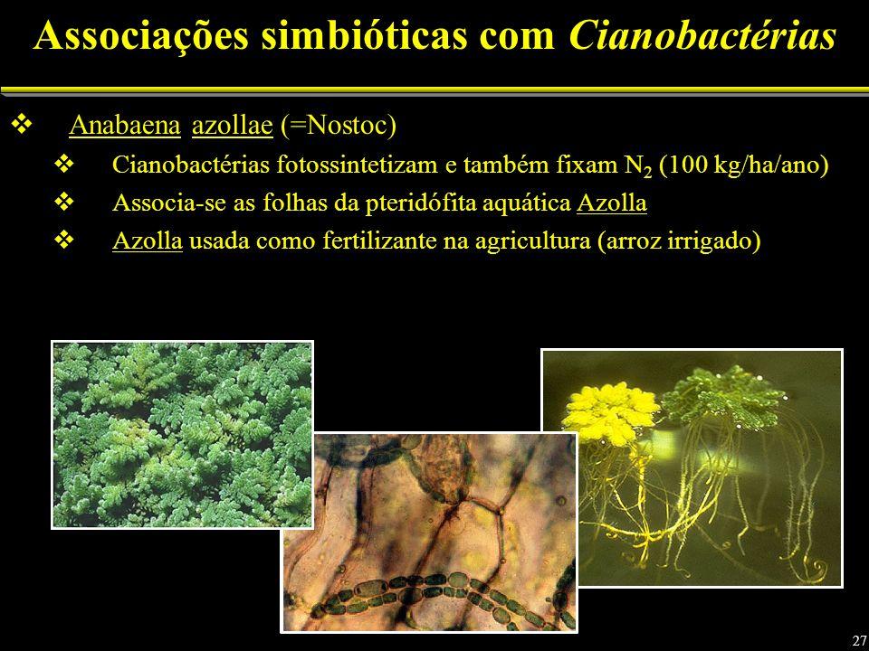 Anabaena azollae (=Nostoc) Cianobactérias fotossintetizam e também fixam N 2 (100 kg/ha/ano) Associa-se as folhas da pteridófita aquática Azolla Azolla usada como fertilizante na agricultura (arroz irrigado) Associações simbióticas com Cianobactérias 27