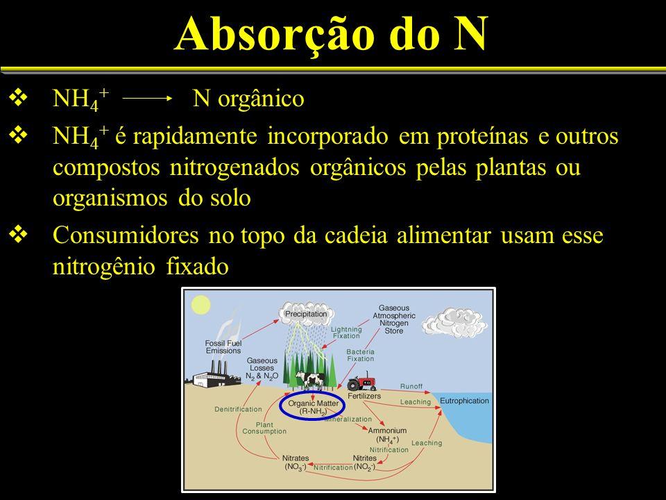 Absorção do N NH 4 + N orgânico NH 4 + é rapidamente incorporado em proteínas e outros compostos nitrogenados orgânicos pelas plantas ou organismos do