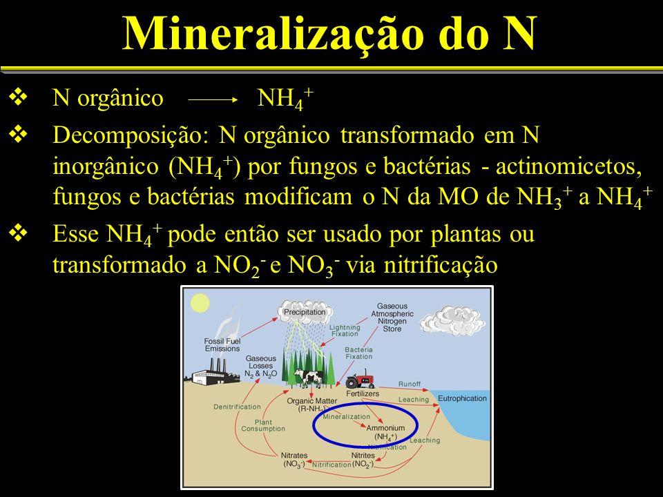 Mineralização do N N orgânico NH 4 + Decomposição: N orgânico transformado em N inorgânico (NH 4 + ) por fungos e bactérias - actinomicetos, fungos e bactérias modificam o N da MO de NH 3 + a NH 4 + Esse NH 4 + pode então ser usado por plantas ou transformado a NO 2 - e NO 3 - via nitrificação