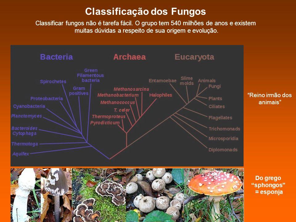 Do grego sphongos = esponja Classificação dos Fungos Classificar fungos não é tarefa fácil. O grupo tem 540 milhões de anos e existem muitas dúvidas a