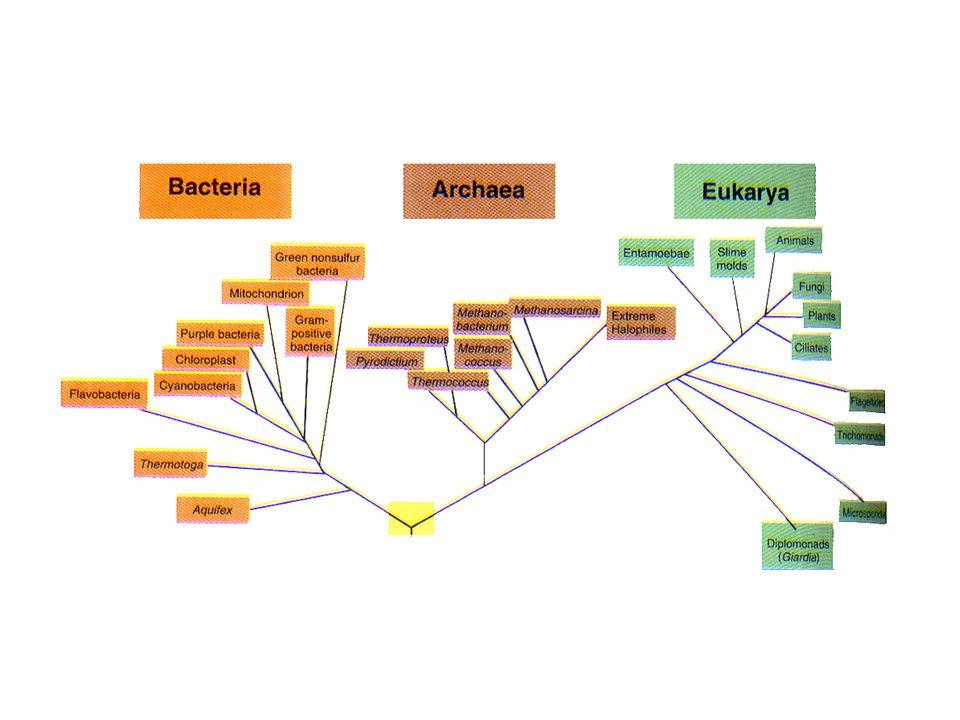 Filo Chytridiomycota Reprodução: * assexual * sexual: fusão de gametas (zoósporos) Exemplo: Ciclo de vida do Allomyces