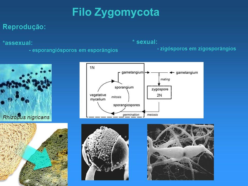 Filo Zygomycota Rhizopus nigricans Reprodução: *assexual: - esporangiósporos em esporângios * sexual: - zigósporos em zigosporângios